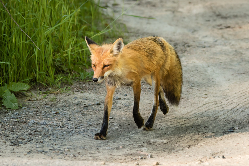 Red Fox in Algonquin