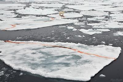 Isbjörn med dödad säl