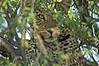 Leopard, AfriCat Foundation, Namibia
