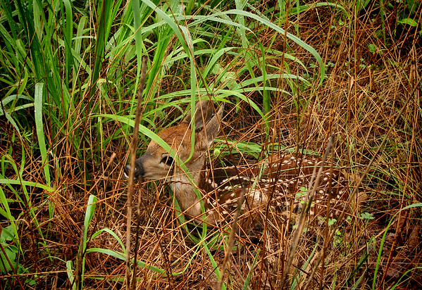A white-tailed fawn (Odocoileus virginianus) hiding in tall grass (20140623_11370)