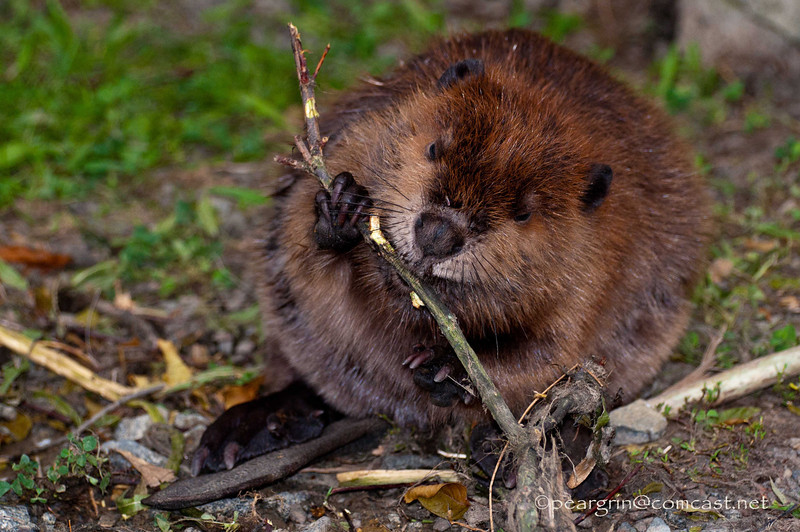 Young Beaver, the day after surviving Hurricane Irene, is rescued from drowning by discarded fishing line.