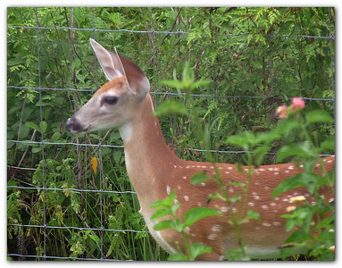 Fawn in the back yard. July, 2009