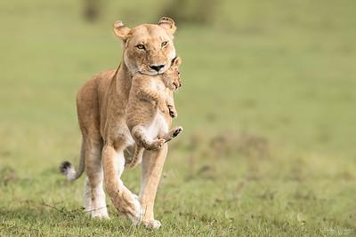 Lejonhona som bär unge