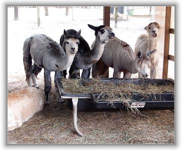 feeding time for the alpacasa