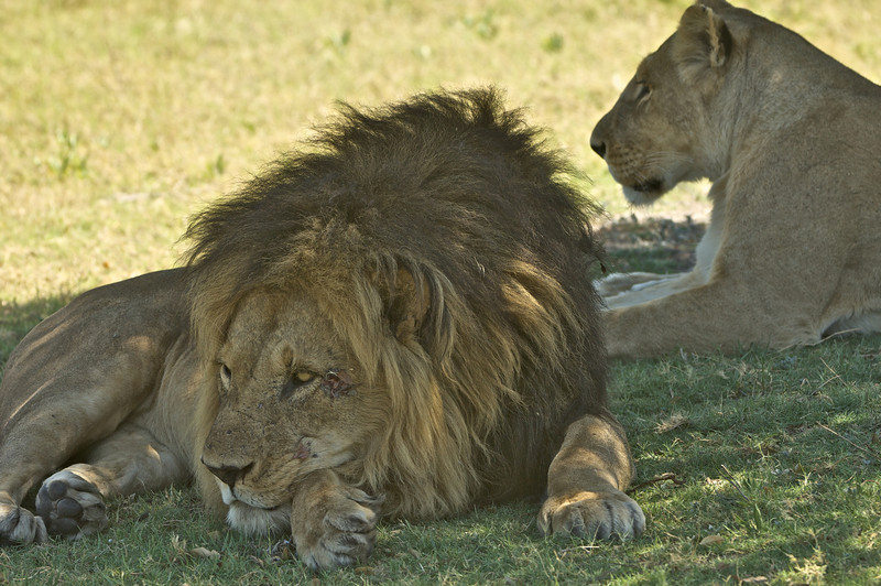 Resting in the Shade, Moremi Game Reserve, Okavango River Delta, Botswana