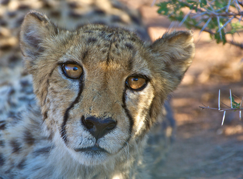 Cheetah, AfriCat Foundation, Otjiwarongo, Namibia