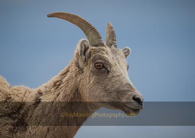 Portrait of a Bighorn Ewe