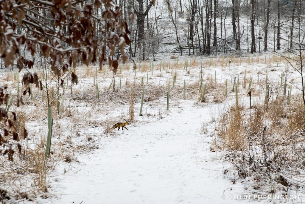 Eastern american red fox