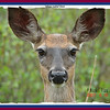 White-tailed Deer - June 16, 2007 - River Bourgeois, Cape Breton, NS (Photo Michel Viau)