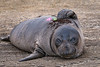 Juvenile Elephant Seal Mirounga angustirostris