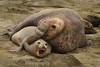 Elephant Seals - Mirounga angustirostris - Male attempting to mount female on beach.
