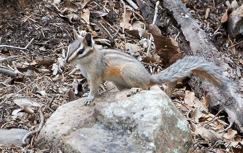 Cliff Chipmunk<br /> Cave Creek, AZ