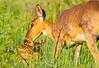 White-tailed Doe and Fawn<br /> Shenandoah National Park VA