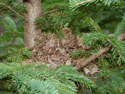 """An old Robin's nest """"repurposed"""" into a mouse nest."""