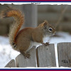 Red Squirrel - March 10, 2008 - Lower Sackville, NS
