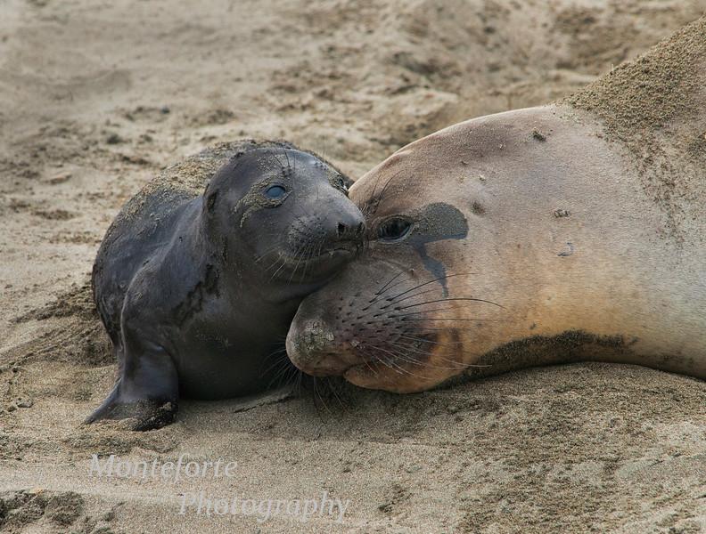 Elephant seal - Mirounga califirniaus - with pup on beach at Piedras Blancas, California.