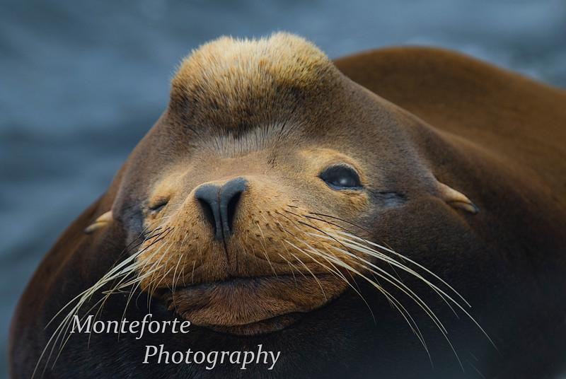 Male Sea Lion-Zalophus californiaus- taking a peek, Monterey Ca.