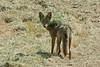 Coyote1699