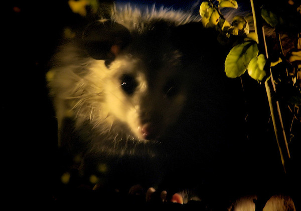 A Virginia opossum (a.k.a. possum; Didelphis virginiana) at night (20081007_13476)