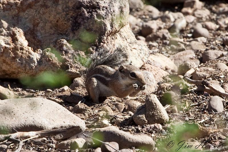Harris' Antelope Squirrel<br /> Portal, AZ