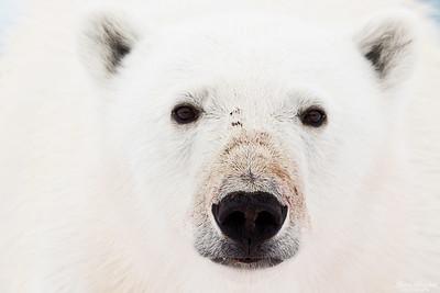 Isbjörn, porträtt