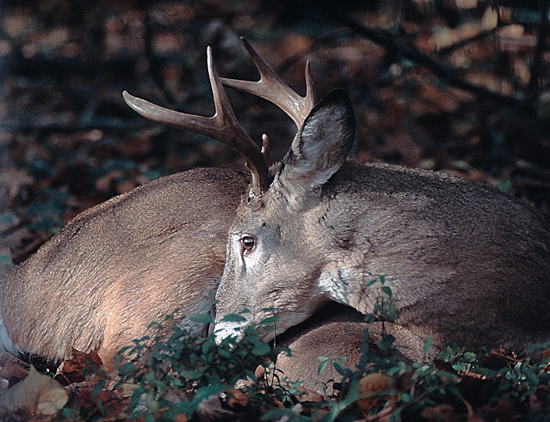 Young Whitetail Buck, Rockville, Maryland