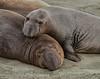 Juvenile Elephant seals, Mirounga angustirostris, on beach at Piedras Blancas sanctuary, California