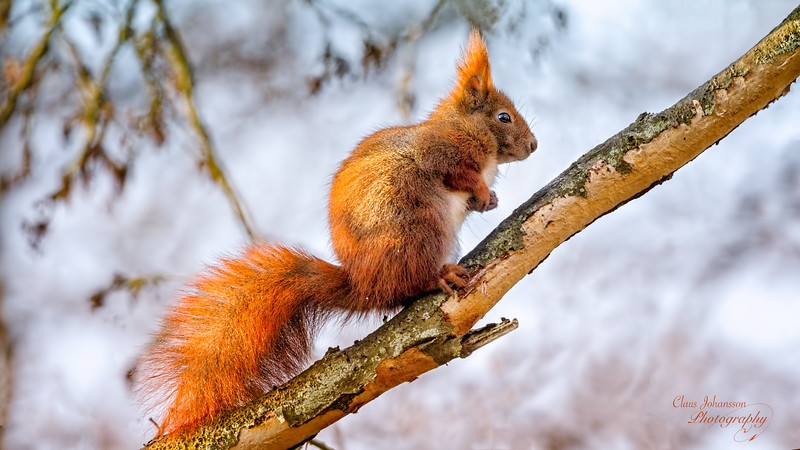 Portrait  of  a red squirrel