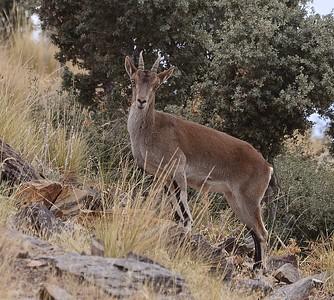 Female Ibex
