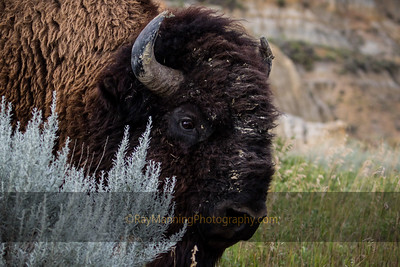 Dirty Faced Bison