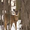 Whitetail Deer - Selkirk Shores,Pulaski,NY