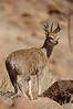 Klipspringer, Namibia