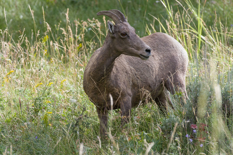 Rocky Mountain Bighorn Sheep ewe (Ovis canadensis)
