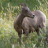 Rocky Mountain Bighorn Sheep ewe (Ovis canadensis)