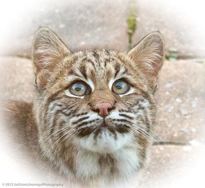Peaceful Bobcat