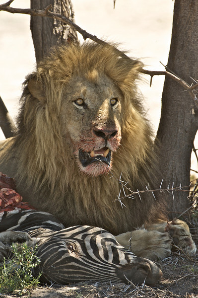 Lion and Kill, Moremi Game Reserve, Botswana