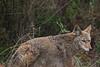 Coyote5932