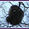 Racoon - March 1, 2009 - Lower Sackville, NS