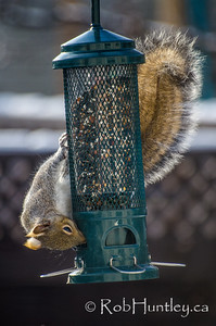 Grey squirrel on a squirrel-proof bird feeder.