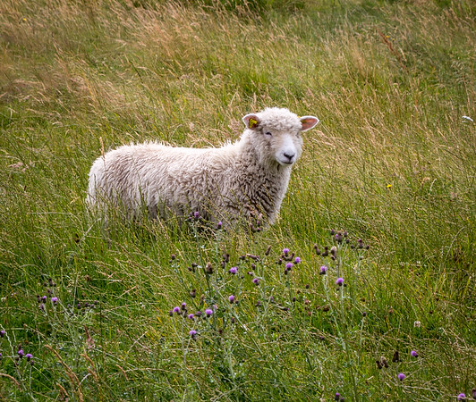 Lone sheep in Denmark