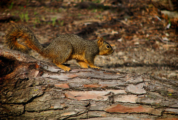A fox squirrel (Sciurus niger) standing on a fallen log (20080314_02632)