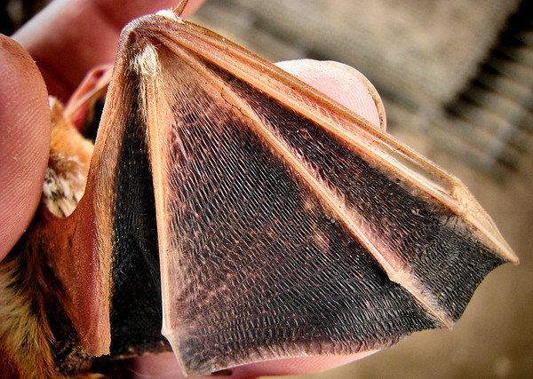 Close-up of the wing of a female eastern red bat (Lasiurus borealis) (20121103_04875)