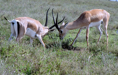 Grant's gazelles practicing for when they're bigger