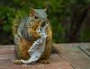 Squirrel gnawing on a jaw bone
