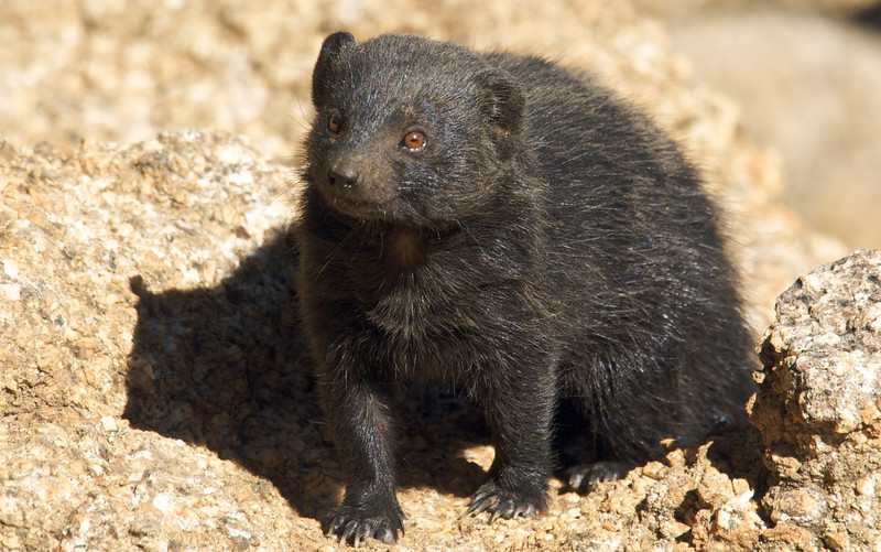 Black Mongoose, Erongo Wilderness Lodge, Namibia