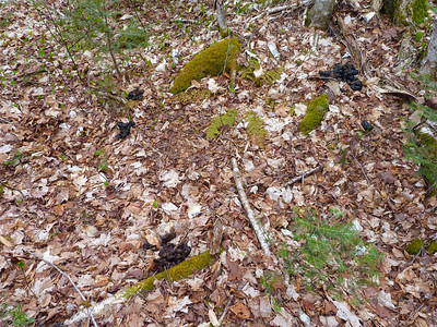 Black Bear droppings immediately adjacent to bed, within 2 m.