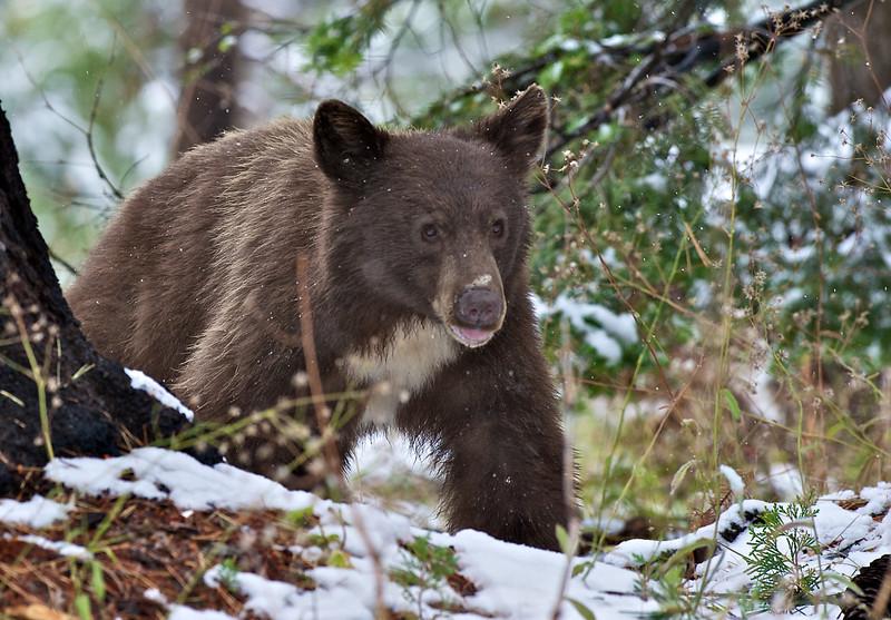 Black Bear, Sequoia National Park, California