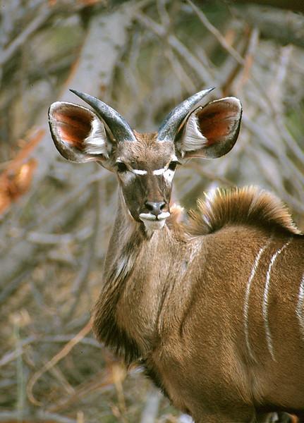 Juvenile Kudu, Mahango Game Reserve, Namibia