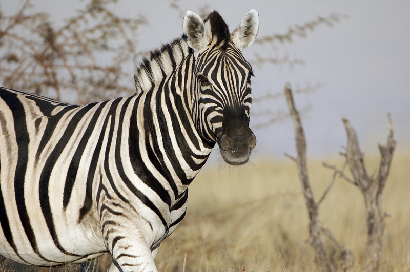 Burchell's (or Plains) Zebra, Etosha National Park, Namibia