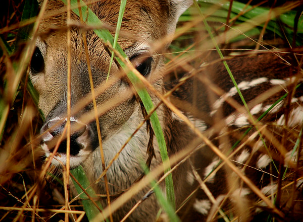Close-up of a white-tailed fawn (Odocoileus virginianus) hiding in tall grass (20140623_11378)